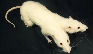 2 headed white rat custom creature taxidermy